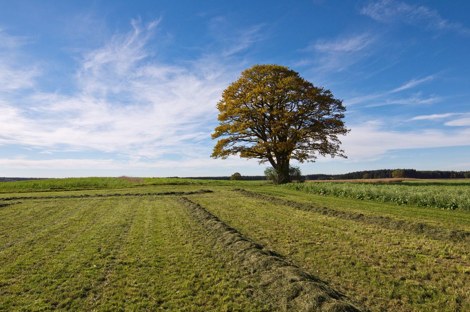 Single Oak Tree in Fields - Autumn colored